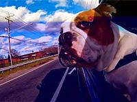Собачьи морды под струей ветра в окне машины